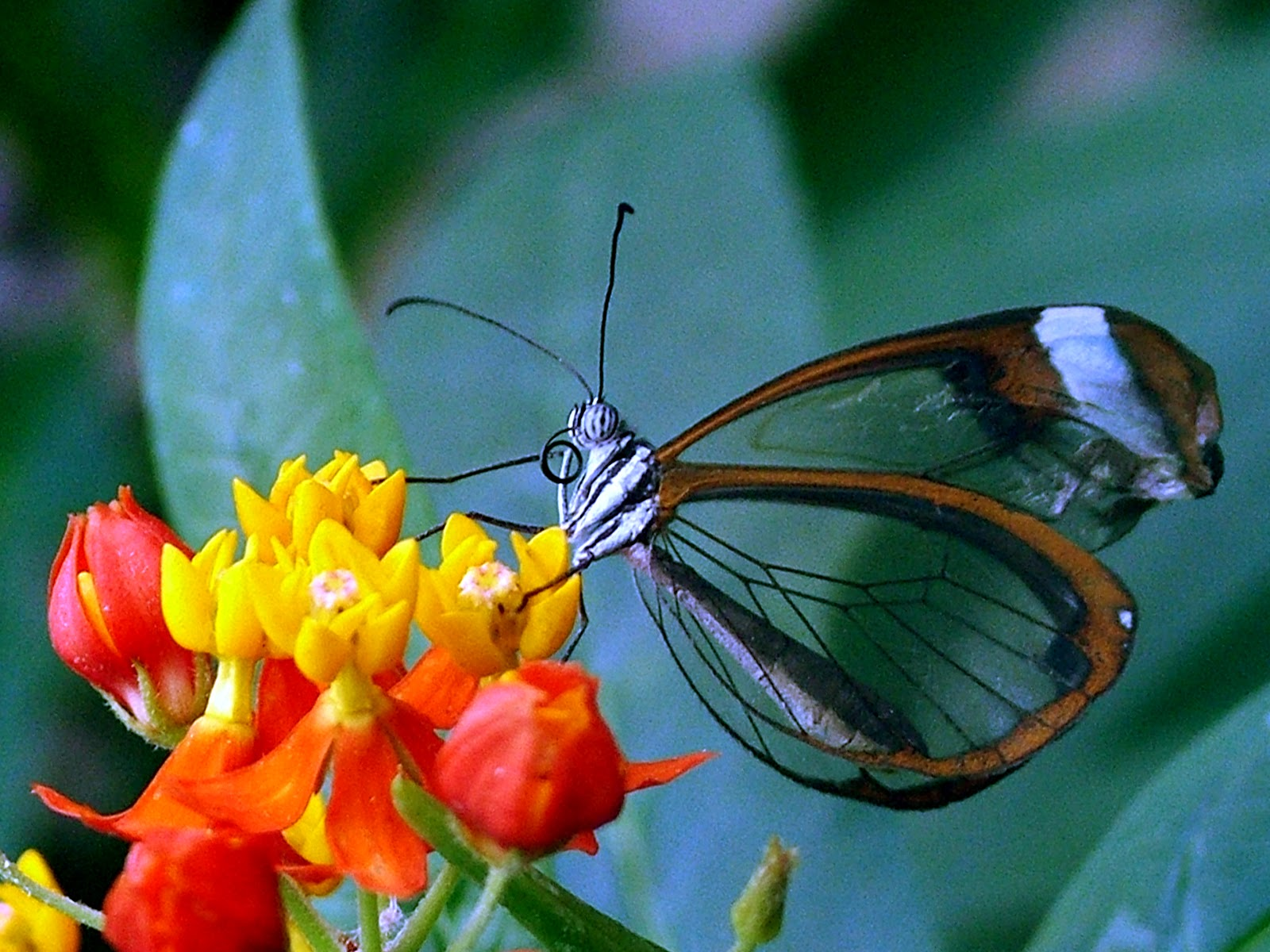 Butterfly_transparent