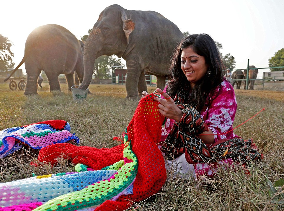 Elephant jumpers. Badly treated rescued elephants at the Wildlife SOS sanctuary outside Agra India with their newly knitted jumpers are on show for the first time, they are all effected by the cold after their ordeal at the hands of owners. Suzy, (front) Phoolkali and Laxmi (rear) show off their jumpers.