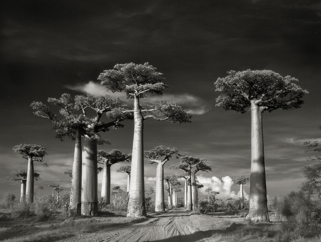 Avenue-of-the-Baobabs-LGneg-2015-copy