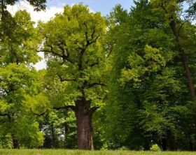 oak-jozef-tree-of-year-jpg-653