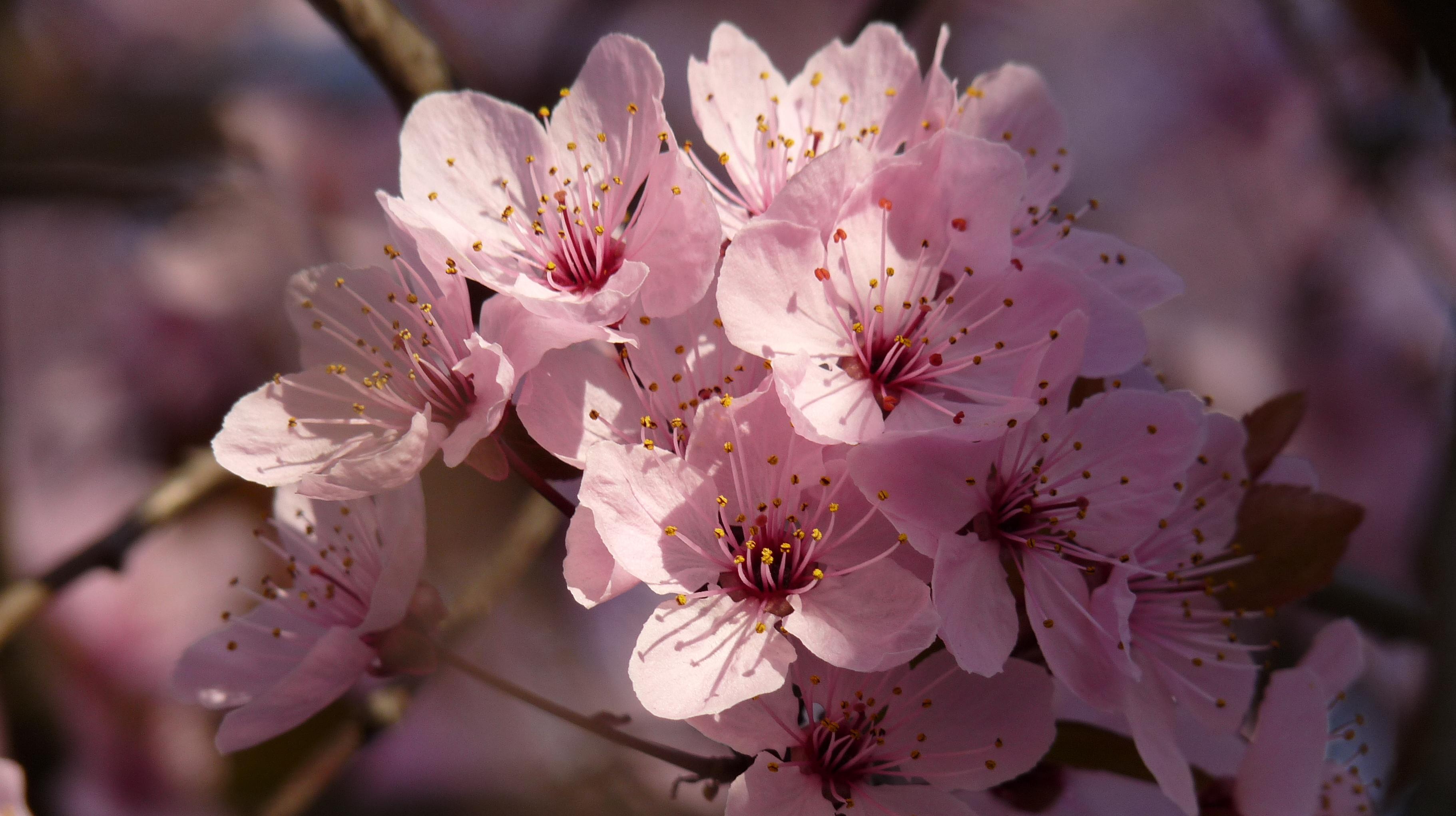 Sen hiç Sakura çiçeği gördün mü?