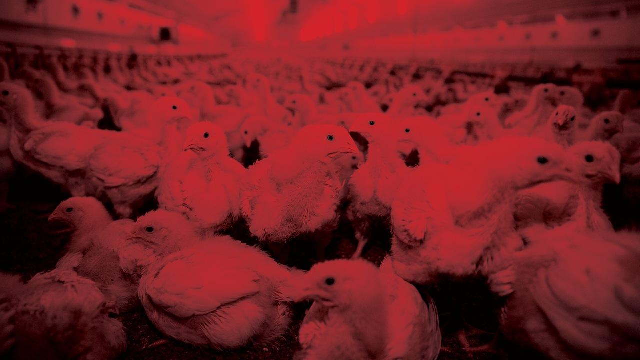Yutmayız! : Güneş görmeyen, eziyet gören tavukları kurtarmanın zamanı geldi