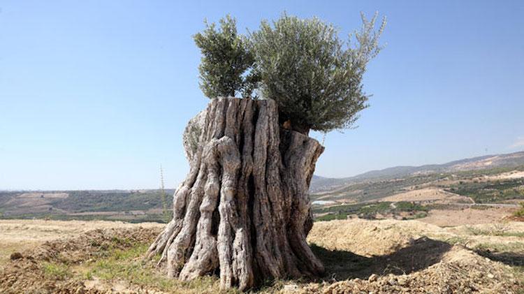 800 yıllık zeytin ağacı yeniden meyve verdi