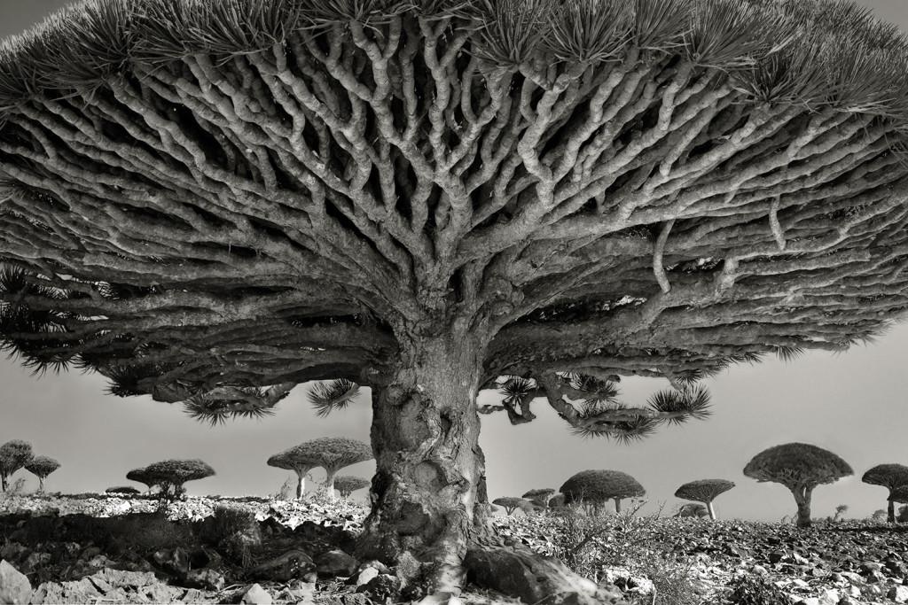 Bu kadim ağaçların anlatacak hikayeleri var