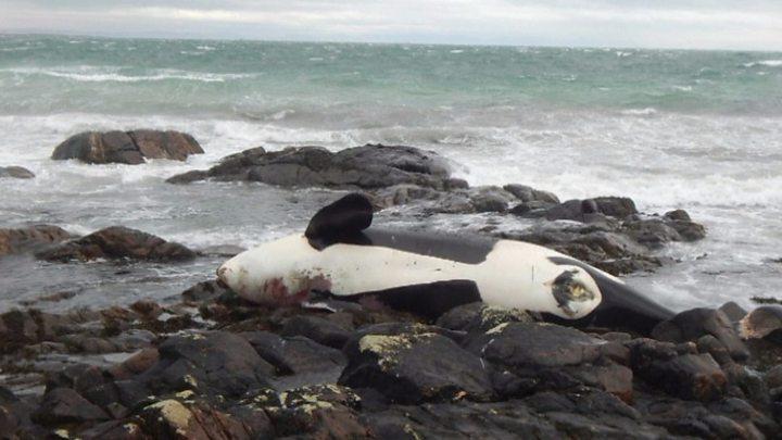 Denizlerdeki plastiğin kurbanları: Katil balina Lulu şimdiye kadar görülmüş en vahim zehirlenme vakası