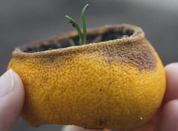 Limon, portakal ve greyfurt kabuklarını atmayın, viyol yapın!