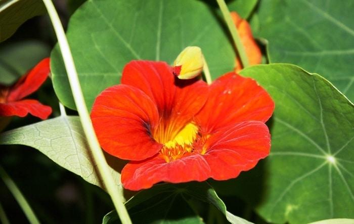 Bahçe ve balkonda Latin çiçeği yetiştirmek için 13 neden