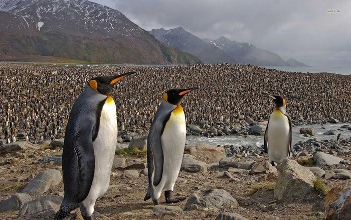 Dünya'nın en büyük kral penguen kolonisinin sayısı %90 oranında azaldı