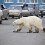 Yemek bulmak için 1.500 kilometre yürüyen kutup ayısı Rusya'daki bir sanayi bölgesine ulaştı