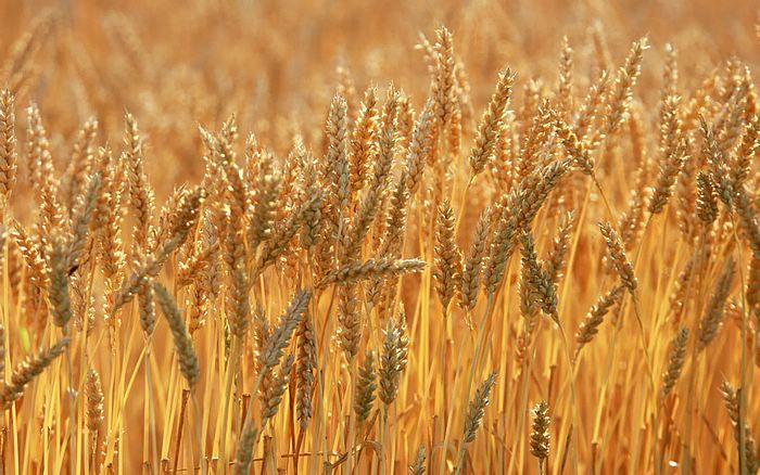 Yüzyılın sonuna kadar buğday tarlalarının yüzde 60'ı yok olabilir