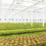 Montreal'den Topraksız Tarım Örneği