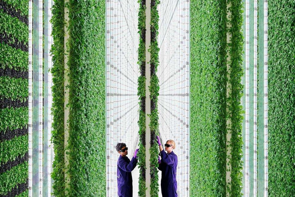 2 Dönümlük Dikey Çiftlik 720 Dönümlük Normal Bir Çitlikten daha fazla ürün üretir mi?
