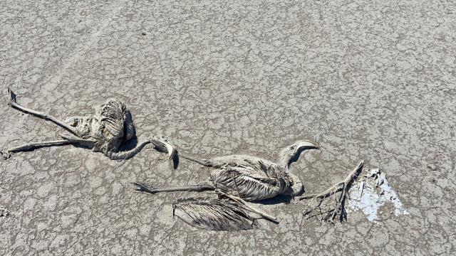 Yanlış Tarım Politikaları ve Uygulamaları Binlerce Flamingo Yavrusunu Öldürdü!